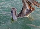 Pelikan och bonefish